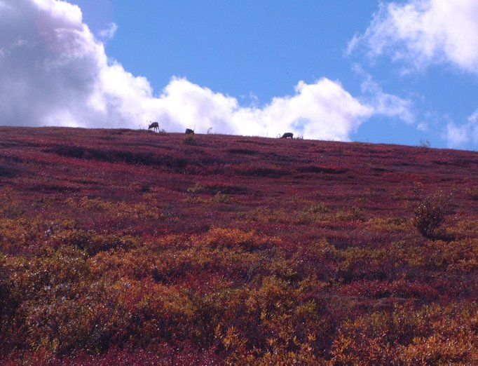 September sun sets the fall colors on the tundra ablaze as caribou forage near a ridge line in Denali NP&P
