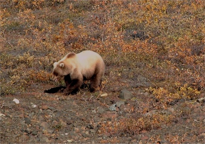 A cinnamon colored grizzly viewed from one of the Park buses is busily seeking berries, roots and tubers