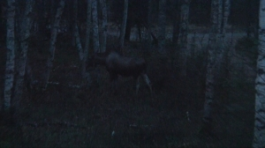 Moose cow in my 'back yard' last October