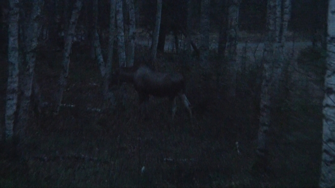 Moose Cow In Back Yard 2