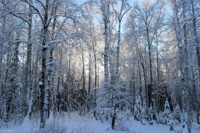 Sunlight On Snowy Trees