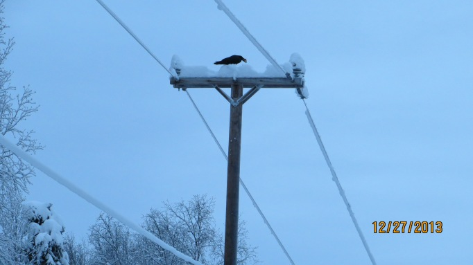 Big Ravens Up Here!!