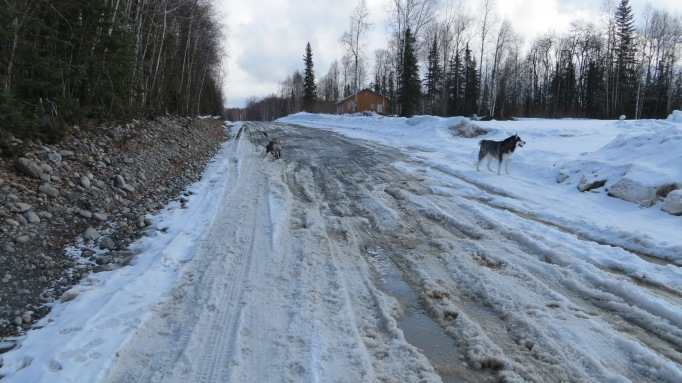 The dogs enjoy the beginnings of break up during a walk along East Barge Drive