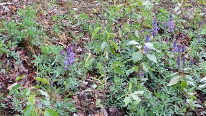 Gorgeous purple flowers along East Barge Drive