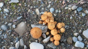 I often see 'shrooms growing in bunches no doubt due to earlier growths dropping lots of spores