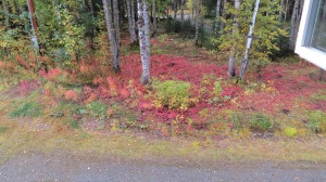 Gorgeous patchwork of fall color created by 'ground level' plants common to the boreal forest