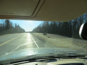 Young bull moose patiently waiting his turn to cross the Spur around 10 miles south of talkeetna