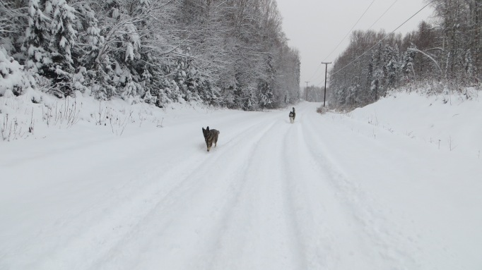 Qanuk and Anana enjoying the fresh snow but especially loving the vehicle tracks on East Barge Drive