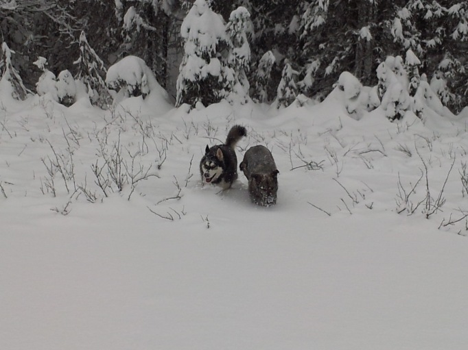 "Qanuk and Anana braving 16"" of fresh snow; they really love Alaskan winters!"