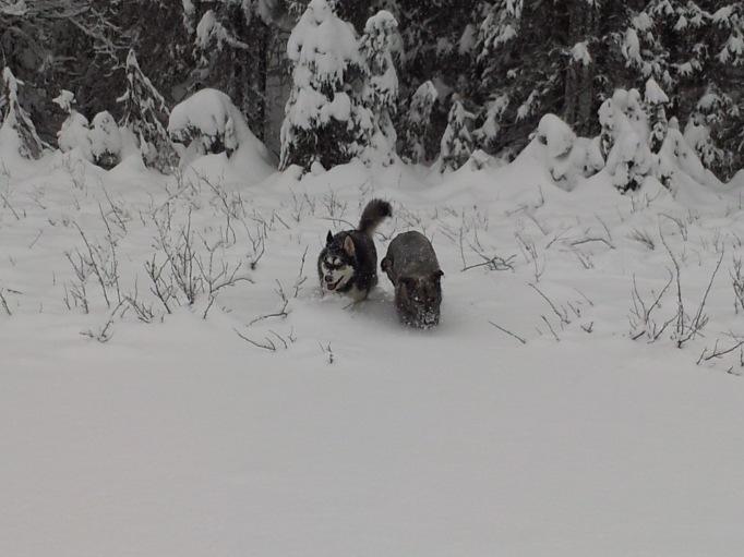"Qanuk and Anana braving 16"" of fresh snow; they really love Alaskan winters!"