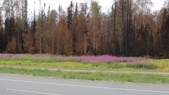 Beautiful fireweed blossoms highlight the burned boreal forest just a bit north of Willow on the Parks Highway