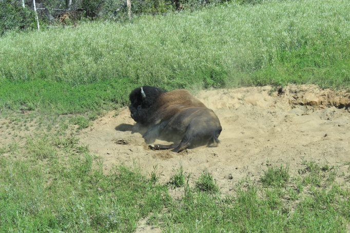Yukon Territories buffalo taking a sand bath