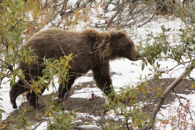 A young grizzly in Denali NP&P's Sable Pass as seen from a tour bus