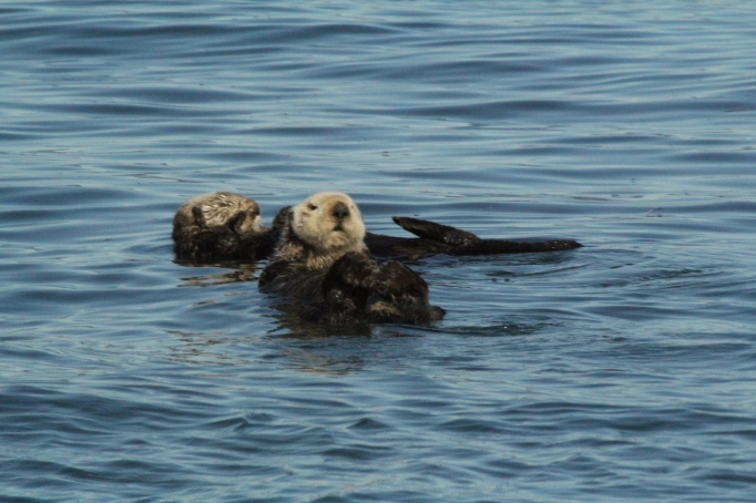 A pair of Sea Otters in Kachemak Bay as seen from our wildlife cruise courtesy of 'Bay Excursions' in Homer