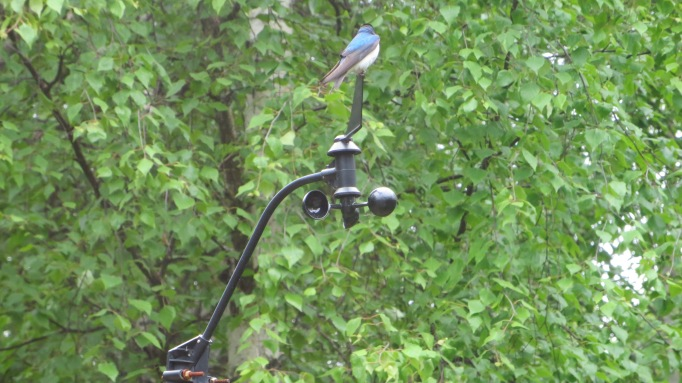 Male Tree Swallow atop my weather vane