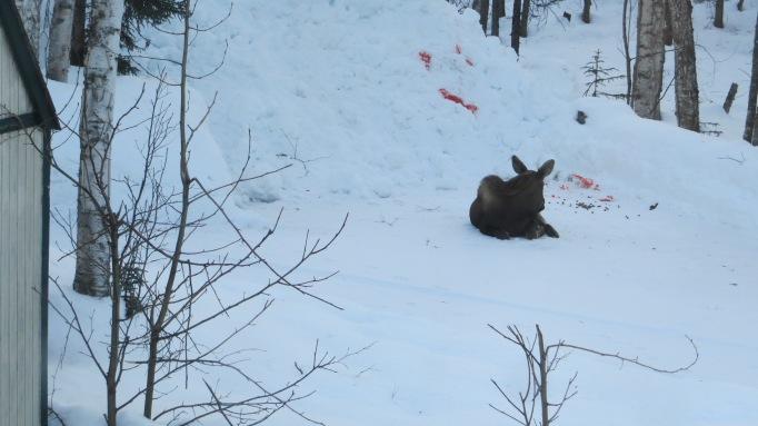Driveway Moose 032318