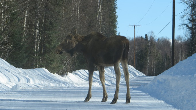 EBD Moose CU