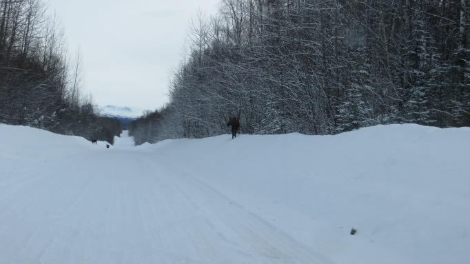 Moose Traffic on East Birch